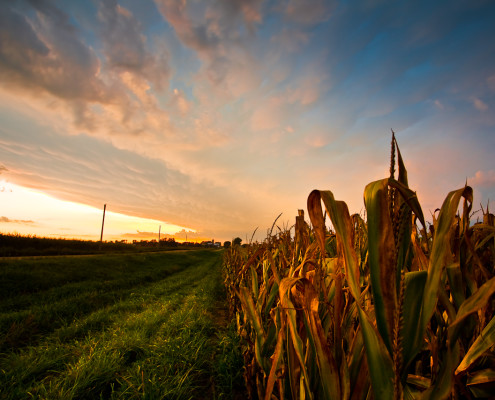 Over-Fields-of-Fruitless-Corn