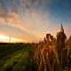 Over-Fields-of-Fruitless-Corn