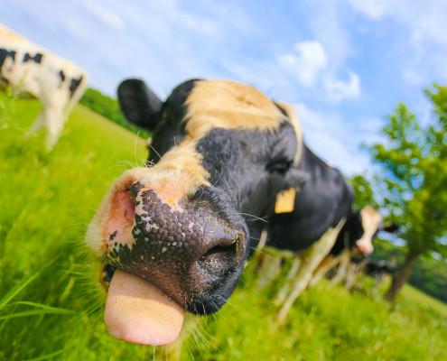 Cow TongueIII